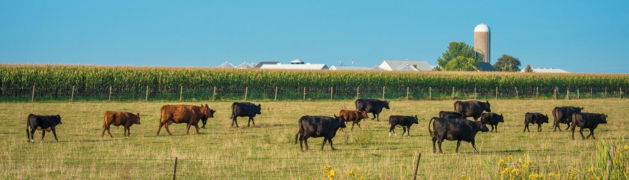 Cattle graze in a field outside of Walcott, Iowa.