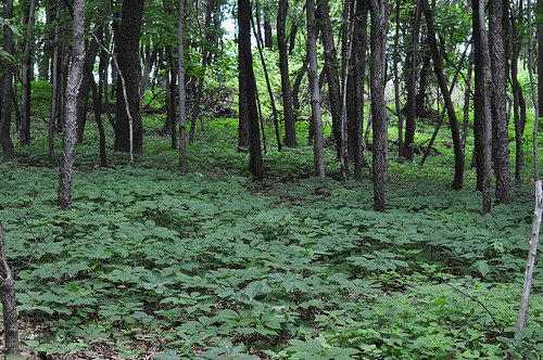Ginseng growing beneath the forest canopy on Denny Colwell's land.