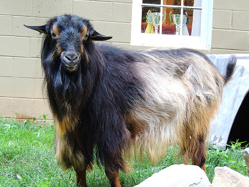 The Benefits of Studying a Domestic Goat with an Interesting History