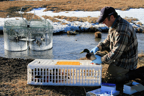 USDA-WS wildlife disease biologist Jared Hedelius collecting a sample from a wild mallard