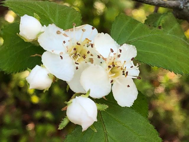 Harbison's hawthorn flowers