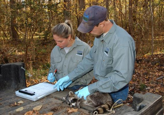 Wildlife Services rabies biologists take a tissue sample from an anesthetized raccoon