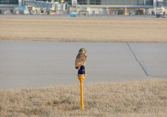 A short-eared owl looks for prey while perched on an airport runway beacon