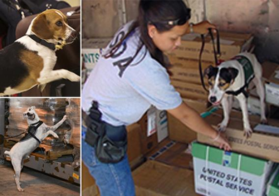 USDA detector dogs at work