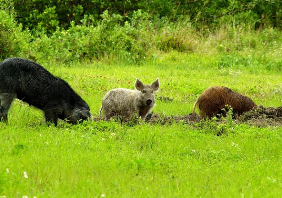 Invasive feral swine