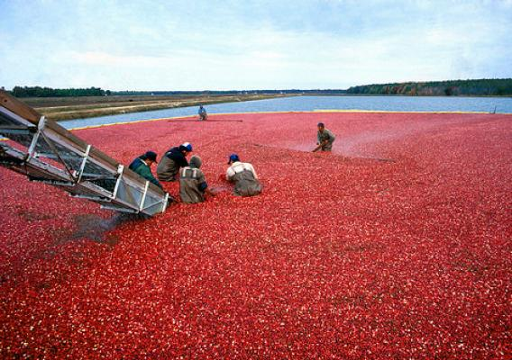 People working with cranberries