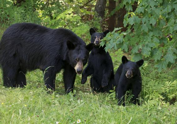 A mother black bear with her cubs