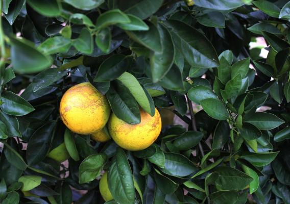Citrus greening in Florida