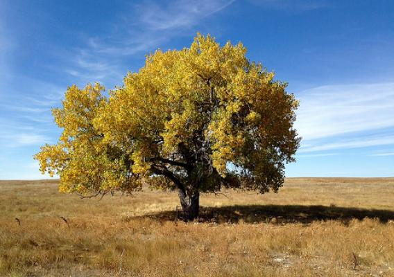 A tree at the Pawnee National Grassland