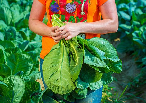 Female farmer holding collard agreens in a field.
