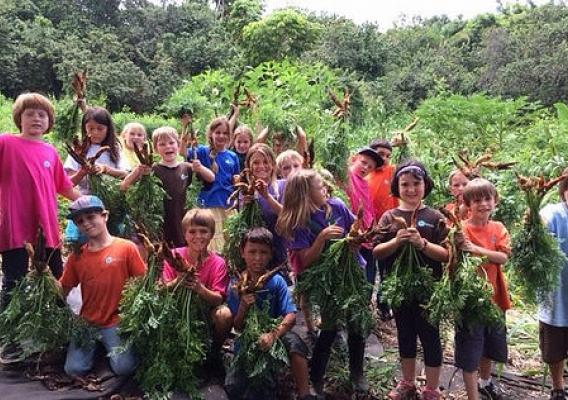 Third grade students at Kona Pacific Public Charter School participating in a class carrot harvest