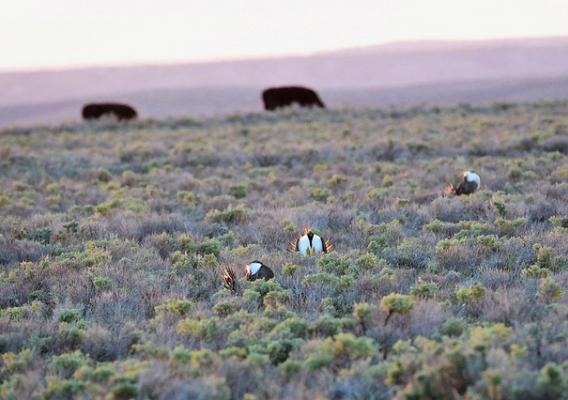 Greater sage-grouse habitat