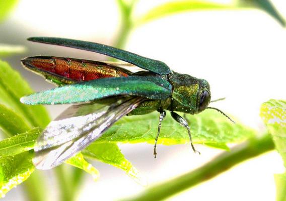 Emerald Ash Borer on a leaf