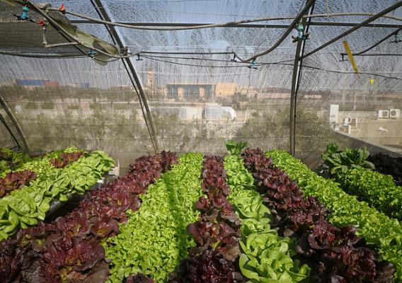 Lettuce produced from the hydroponic system