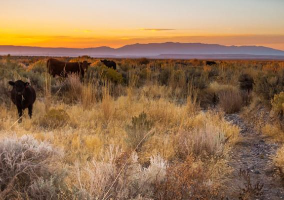 Cattle grazing at sunset