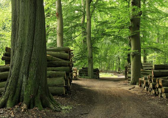 Piles of beech wood on a winding forest path