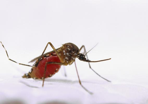 A female Aedes aegypti mosquito resting after a blood meal