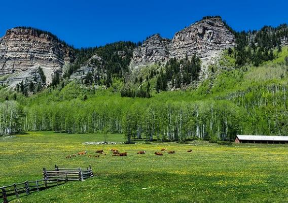 Cattle and calves grazing in a pasture at the foot of the Rocky Mountains