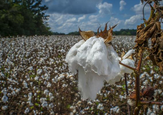 A cotton field in Alabama