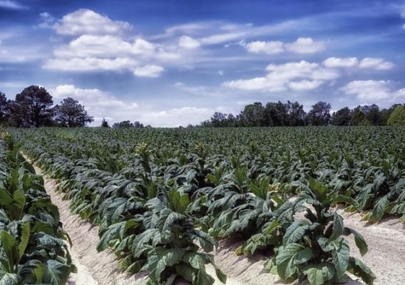 A tobacco farm in North Carolina