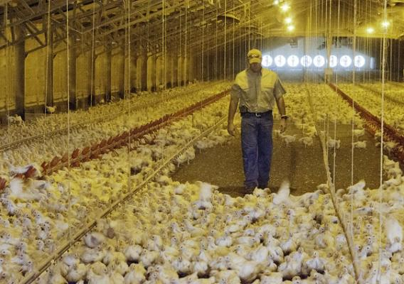 A poultry producer checking the broiler hens in one of his chicken houses
