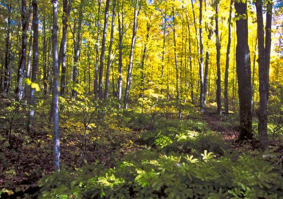 A forest on Michigan's Upper Peninsula