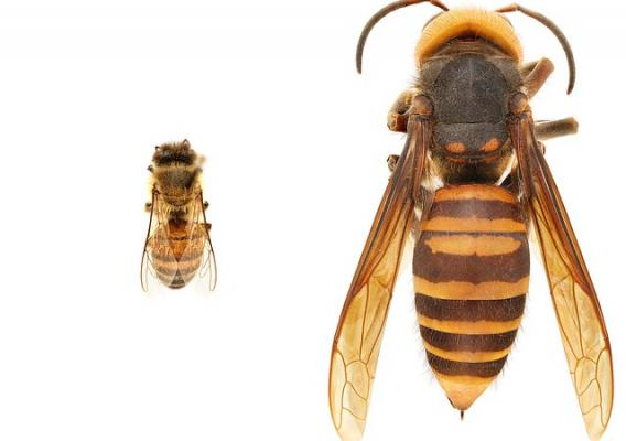 Size comparison of an Asian giant hornet and a honey bee