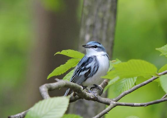 Cerulean warblers spend part of the year in the Appalachian Mountains of North America as well as the Andes Mountains of South America. Photo by DJ McNeil.