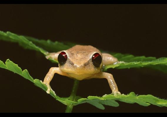 The very existence of frogs worldwide is being threatened by a killer fungus. Photo Credit: National Science Foundation