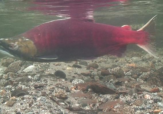 The male sockeye salmon has a larger head with elongated jaws, hooked snouts and strongly developed teeth. (U.S. Forest Service photo)