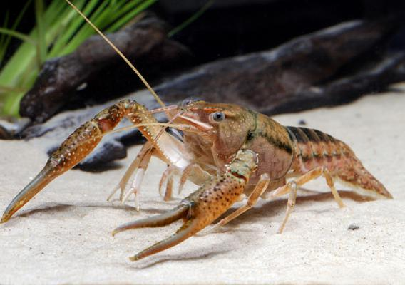 Crayfish, like this Procambarus hayi are freshwater crustaceans, and live in rivers and streams. (U.S. Forest Service/Chris Lukhaup)