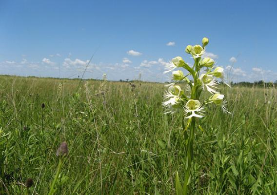 The western prairie fringed orchid is one of Minnesota's 43 wild orchids. Photo by Ben Sullivan. Used with permission.