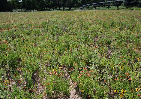In northern Florida wildflowers are planted in an unused part of this farm field to provide habitat for pollinators. USDA photo.
