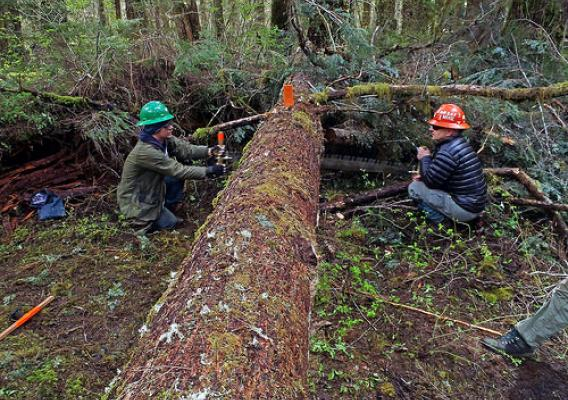 The daunting task of removing a fallen tree on the Olympic National Forest is best tackled with a partner. Two Washington Trails Association members work together using a cross-cut saw, which takes special training and a fine touch. (Courtesy Meg MacKenzie/Washington Trails Association)