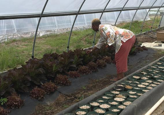 Dr. Ellen Harris, Director of the Beltsville Agricultural Research Center taking a look at the red leaf lettuce