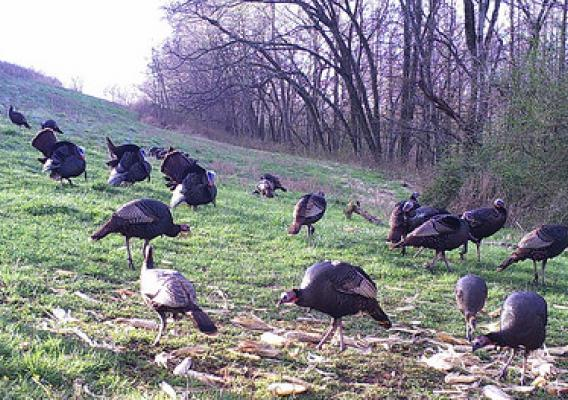 Turkeys roaming free within the protective fences on Chuck Borum's farm