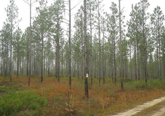 Forests on the Conecuh National Forest