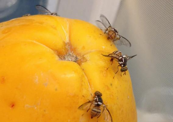 Oriental fruit flies on papaya