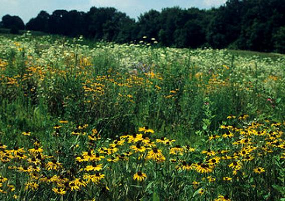 Thriving prairie with black-eyed susans
