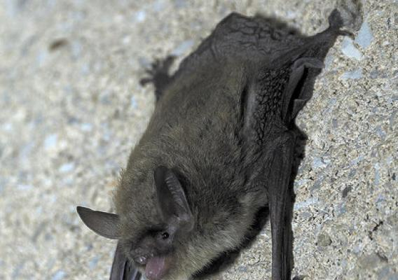 Bats like this northern long-eared bat are important to agricultural and forest ecosystems and are a significant force in keeping insect populations in check. (U.S. Forest Service/Sybill Amelon)