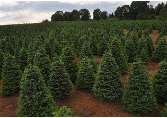Christmas trees are a staple crop for many farms in Oregon, including this tree farm off Interstate 5. (NRCS photo)