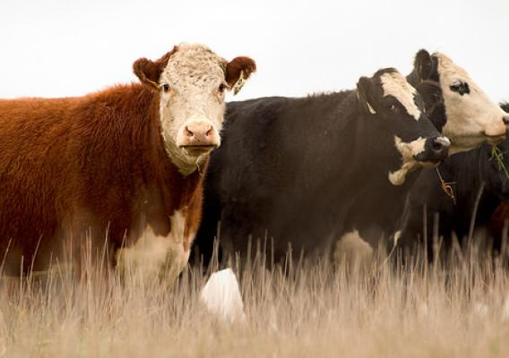 Data gathered from the AgENCODE project will ultimately improve cattle breeding.