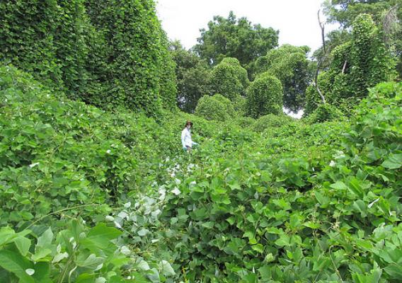 NRCS Partner Employee Elizabeth Ciuzio Freiday, certified wildlife biologist, in a field of the vine kudzu, which is highly threatening to native communities. Photo by New Jersey Audubon Society, used with permission.