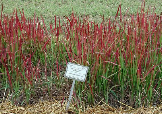 Widely used in landscaping, the cold-tolerant cogongrass Red Baron variety does not produce viable seed, but its pollen could present problems in the future. (Auburn University/David Teem, Bugwood.org). Photo used with permission.