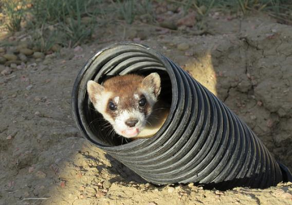 An endangered black-footed ferret peeks out of a tube in a prairie dog burrow soon after its release at Soapstone Prairie Natural Area near Fort Collins, Colorado, on September 3. Photo by USDA Wildlife Services.