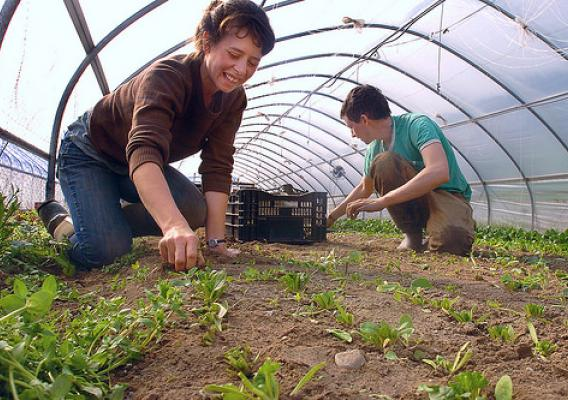 Amanda Barnett and David DiLorenzo pull out spinach plants in a greenhouse at Stone Soup Farm Co-Op in Hadley, Mass. (Photo by Jerry Roberts)