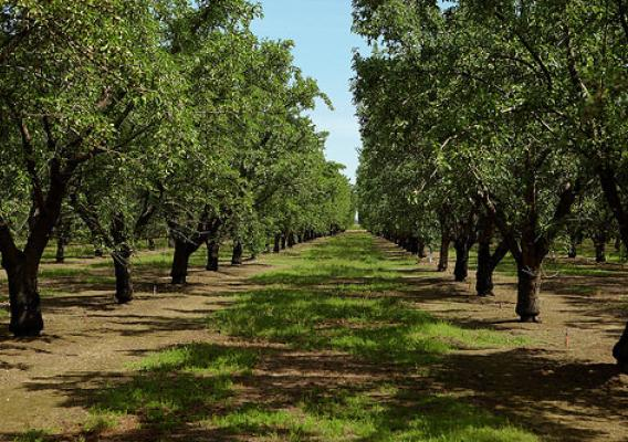 Almond growers are innovative in their water savings. This orchard uses micro-irrigation, which efficiently directs water. Photo courtesy of the Almond Board.