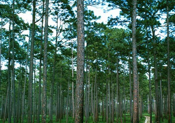Longleaf Pine forest (photo by William D. Boyer, U.S. Forest Service)