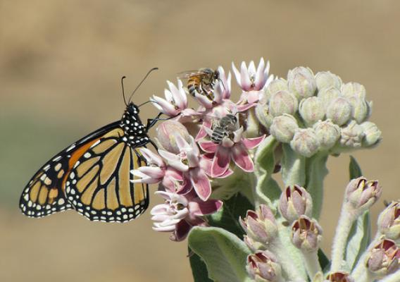 A monarch butterfly, a honeybee and leafcutter bee gathering nectar from a showy milkweed