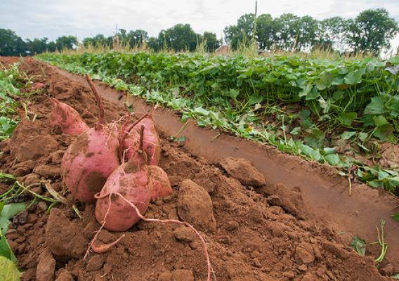 The sweet potatoes harvest at Kirby Farms in Mechanicsville, VA